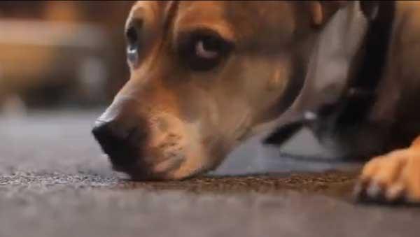 Хозяин прощается со своей собакой болеющей раком - трогательное видио