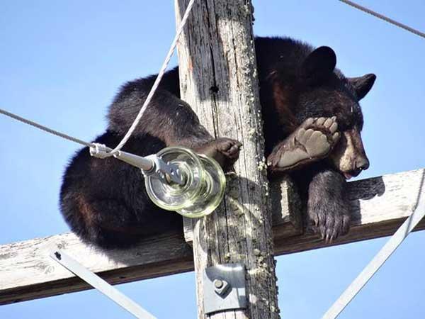 Притомившийся мишка прикорнул на столбе с электропроводами
